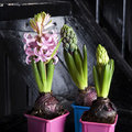 Lilac hyacinth in interior of modern house Royalty Free Stock Image