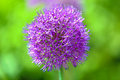 Lilac inflorescence of garlic on a green background Stock Photo
