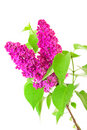 Lilac and leaves Royalty Free Stock Photo