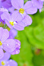Lilac pansy flowers Royalty Free Stock Photo