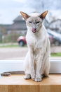 Lilac Point Siamese Cat Royalty Free Stock Photo