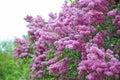 Lilac (Syringa) flower Royalty Free Stock Photo