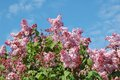 Lilac syringa flower over blue sky background Stock Photos