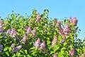 Lilac syringa flower over blue sky background Stock Photography