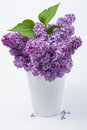 Lilac (Syringa vulgaris) Royalty Free Stock Photography
