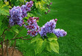 Lilac Tree Blossom Royalty Free Stock Photo