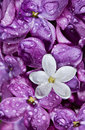 Lilac.   White flower among violet Stock Images