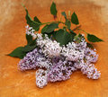 Lilac on a wooden background Royalty Free Stock Images