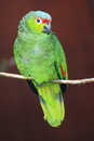 Lilacine amazon parrot the sitting on the branch Royalty Free Stock Photo