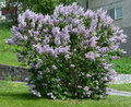 Lilacs blossoming on a bush sweden in may Royalty Free Stock Photography