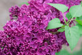 Lilacs close up full bloom Royalty Free Stock Photography