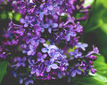 Lilacs Royalty Free Stock Photo