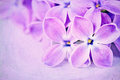 Lilacs on a purple textured background Stock Photography