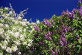 Lilacs and sky Stock Photo