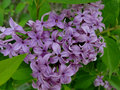 Lilacs welcome spring the color and fragrance of to a boise city park Stock Photography