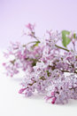 Lilas syringa vulgaris Photos stock