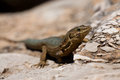 Lilford s wall lizard endemic on sa dragonera near mallorca spain Royalty Free Stock Images