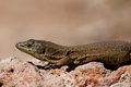 Lilford s wall lizard endemic on sa dragonera near mallorca spain Stock Image