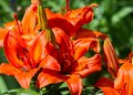 Lilies dark maroon. a heraldic fleur-de-lis. Lily, The badge doe Royalty Free Stock Photo