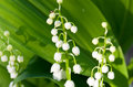 Lilies of the valley are white on a background a foliage Stock Photo
