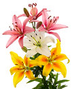Lilies white pink and yellow flowers isolated on white background Royalty Free Stock Photography