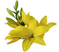 Lilies yellow flowers,  on a white background,  isolated  with clipping path. beautiful bouquet of lilies with green leaves,  for Royalty Free Stock Photo