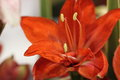 Lilium beautiful close up liliaceae flower Royalty Free Stock Photography