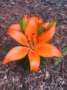 Lilium bulbiferum, orange lily, fire lily and tiger lily Royalty Free Stock Photo