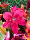 Lilium bulbiferum, red lily, fire lily and tiger lily Royalty Free Stock Photo