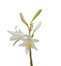 Lilium candidum or the Madonna lily on a white background Royalty Free Stock Photo