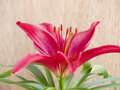 Lilium flower Stock Images