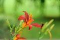 Lilium lily bulbiferum on green background Stock Photo