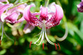 Lilium speciosum (Pink) Royalty Free Stock Photo