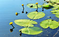 Lilly flower and pads flowers in a clear blue water with green Royalty Free Stock Photography