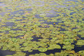 Lilly Pad Background Royalty Free Stock Photography