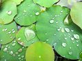 Lilly Pads Glistening With Water Royalty Free Stock Photo