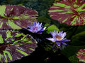 Lilly pads lily floating in the water at the conservatory Stock Images