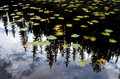 Lilly pads und kiefer reflexion in yellowstone nationalpark Stockbilder