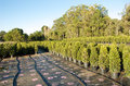 Lilly pilly nursery Royalty Free Stock Photo