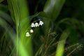 Lilly of the valley blosome under the forest canopy. Royalty Free Stock Photo