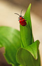 Lily beetle a bright red lilioceris lilii red leaf preparing to fly off the point of a leaf Stock Photography