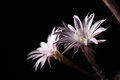 Lily cactus echinopsis flower on black background pink Stock Image
