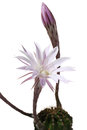 Lily cactus echinopsis flower on white background pink black Royalty Free Stock Photography