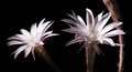 Lily cactus flower on black background echinopsis Royalty Free Stock Photography