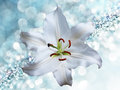 Lily flower on blue background with bokeh effects. Royalty Free Stock Photo