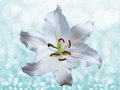 Lily flower on a blue background Royalty Free Stock Photo