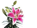 Lily flower isolated Royalty Free Stock Photo