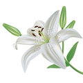 Lily flower isolated on white background Stock Photography
