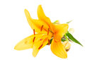 Lily flower isolated on a white background orange Royalty Free Stock Image