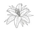 Lily flower monochrome vector illustration. Beautiful tiger lilly isolated on white background. Element for design of greeting car Royalty Free Stock Photo